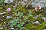 Glacier Crowfoot (Ranunculus glacialis)